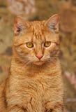 Cat with orange eyes Stock Photos