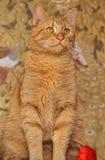 Cat with orange eyes Royalty Free Stock Image