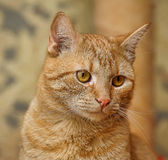 Cat with orange eyes Stock Images