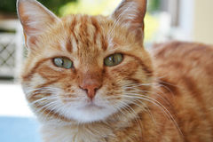 Cat. An orange cat looking at the lens Royalty Free Stock Photo