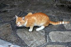 Cat orange Royalty Free Stock Photo
