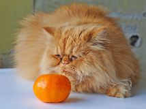 Cat and orange Royalty Free Stock Images