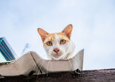 Cat orange yellow white gaze the intention on roof Royalty Free Stock Images