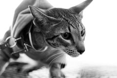 Cat oriental with breast band. Cat pedigree oriental with breast band, monochrome Stock Photo