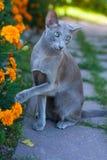 Cat Of Oriental Breed, 2 anni, sedentesi ed alzanti su zampa Fotografia Stock Libera da Diritti