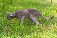 Cat Of Oriental Breed Eats gräs i trädgård Royaltyfria Bilder