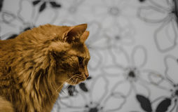 Profile of domestic cat. Profile of long hair yellow domestic cat inside Stock Photography