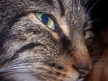 Female cat Nanou Stock Image