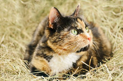 Cat. Outbred Cat With Green Eyes On The Haystack Stock Photography