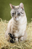 Cat. Outbred Cat Is Sitting On The Haystack Royalty Free Stock Image