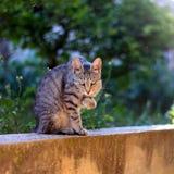Cat Outdoor. Brown tabby cat grooming her paw in the garden. Selective focus stock photo