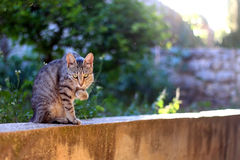Cat Outdoor. Brown tabby cat grooming her paw in the garden. Selective focus royalty free stock image