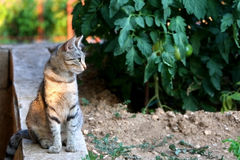 Cat Outdoor. Brown tabby cat sitting in the garden, illuminated by sunset light. Selective focus royalty free stock images
