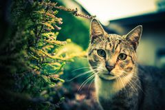 Cat Outdoor Portrait. Domestic Cat in the Garden. Furry Carnivorous Mammal Royalty Free Stock Photo