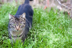 Cat Outdoor. Tabby cat with beautiful green eyes in a garden. Selective focus royalty free stock photos