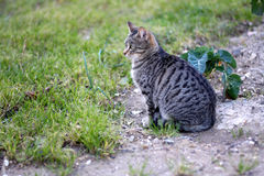 Cat Outdoor. Tabby cat sitting in a garden. Selective focus royalty free stock photography