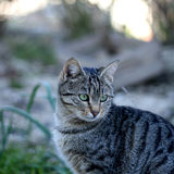 Cat Outdoor. Tabby cat sitting in a garden. Selective focus royalty free stock photos