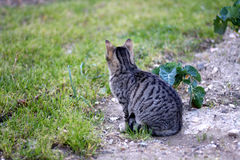 Cat Outdoor. Tabby cat sitting in a garden. Selective focus royalty free stock image