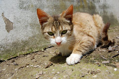 Cat outdoors. Portrait of pet cat stalking outdoors Stock Photography