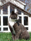 Cat Outdoors. A cat sitting on a lawn with a house in the background Royalty Free Stock Images