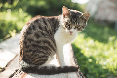 Cat outdoors Royalty Free Stock Image