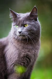Cat outdoors on a green lawn Royalty Free Stock Photos