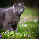 Cat outdoors on a green lawn Royalty Free Stock Photo
