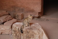 Cat outside an ancient tomb. A feral cat sitting outside an ancient Nabataean tomb in Petra, Jordan Stock Image