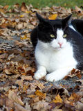 Cat outside with fall leaves royalty free stock photo
