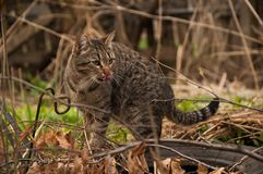 A cat on a walk outside. Hunting. A cat outside. She is hunting and looking somewhere. Outside the weather is mild. Spring Stock Photos