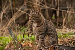 A cat on a walk outside. Sitting. A cat outside. She is sitting and looking somewhere. Outside the weather is mild. Spring Royalty Free Stock Image