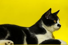 Cat Over Yellow Background Stäng sig upp av en katt, kantjusterat skott Djur stående Royaltyfria Foton