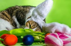 Cat with overhead ears depicts an Easter rabbit among the flower Stock Image