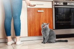 Cat with the owner in the kitchen asks to eat, hungry cat. Cat with the owner in the kitchen, cat asks to eat, hungry cat, hand close-up of a bowl of food stock photography