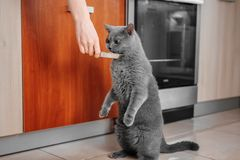 cat asks to eat, hungry cat royalty free stock image