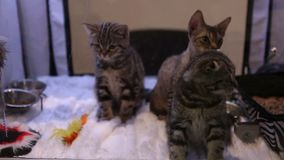 Cat owner playing with fluffy kittens, exhibition of expensive cat breeds. Stock footage stock video