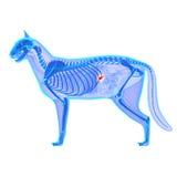 Cat Pancreas Anatomy - FelisCatus anatomi - som isoleras på vit arkivbilder