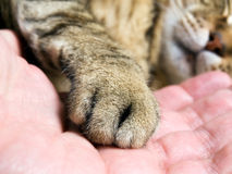 Cat paw. Closeup of cat paw in the man hand stock image