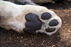 Cat paw. Outdoor closeup of a single cat paw Royalty Free Stock Images