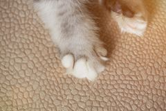 Cat paw on carpet. Close-up. Macro of kitty paw with white claw Royalty Free Stock Photos