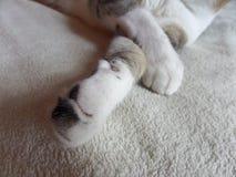 Cat Paw Close White Pet imagen de archivo