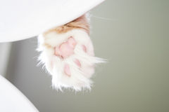 Cat Paw detail. Maine-coon cat paw on white chair stock photography