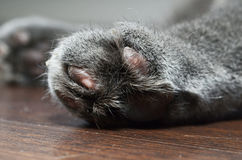 Cat paw in detail Royalty Free Stock Images