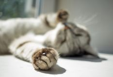 Cat paw on focus and cat lying in the sun. Cat paw on focus and tabby cat lying in the sun royalty free stock image