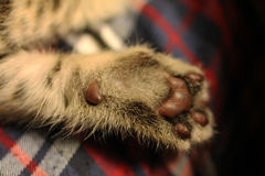 Cat paw Royalty Free Stock Photography