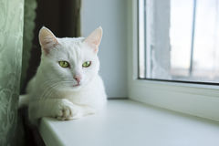 Cat with paw on paw Royalty Free Stock Image