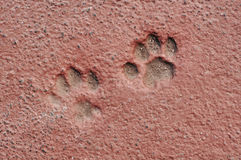 Cat Paw Prints in Concrete Royalty Free Stock Images