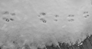 Cat paw prints in the snow Royalty Free Stock Photos