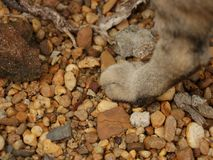 Cat Paw on Rocks royalty free stock photography