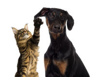 Cat pawing at a dog ear Royalty Free Stock Photography